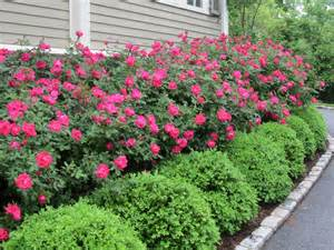 knockout roses with boxwood hedge gardens landscaping