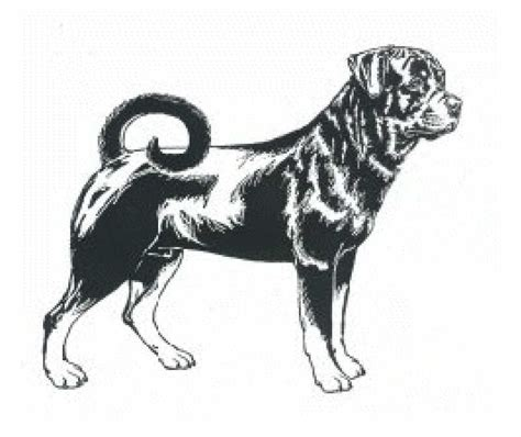 rottweiler coloring pages how to draw rottweiler f