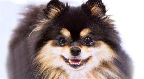 colors of pomeranians pomeranian breed information american kennel club