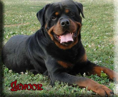 german rottweiler puppy rottweiler breeders rottweiler puppies for sale german rottweilers for sale