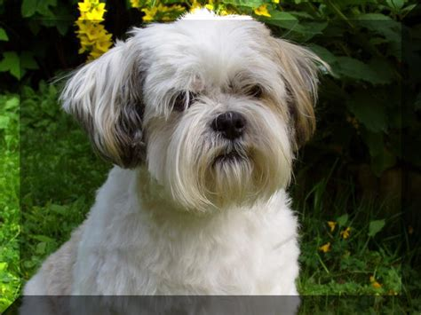 lhasa apso haircut styles haircut for lhasa apso lhasa apso haircuts hairstyles