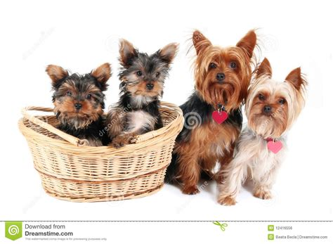 family yorkies terrier family stock photo image of studio 12416556