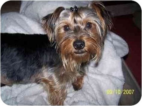 yorkie rochester ny romeo adopted rochester ny yorkie terrier