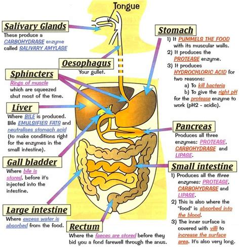 112 best digestive system images on healthy