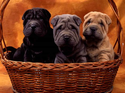 shar pei puppies file shar pei puppies jpg