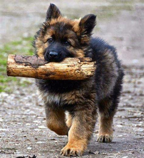 german shepherd puppies delaware best 25 german shepherds ideas on german shepherd puppies german sheperd