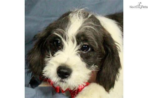 pugapoo puppies pugapoo puppy for sale near tulsa oklahoma ba7d3275 e0d1