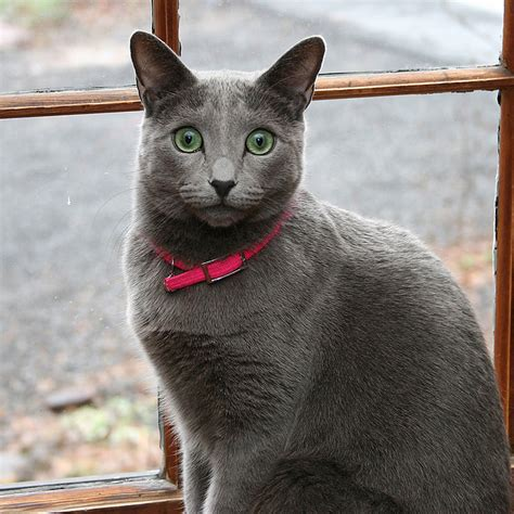 Do Russian Blue Cats Shed by 8 Hypoallergenic Cat Breeds So You Can Be A Cat