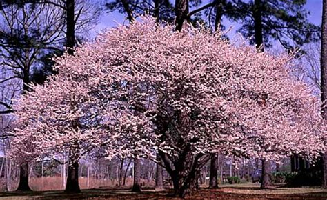 when i grow as as a cherry tree books grow cherry trees from seeds