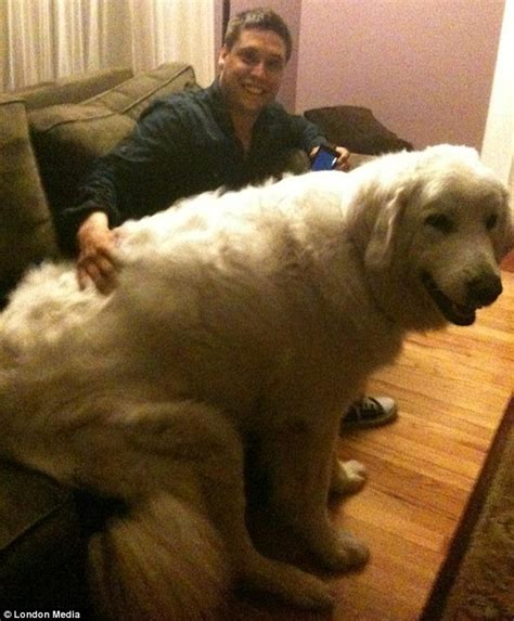 largest golden retriever the largest dogs i ve seen
