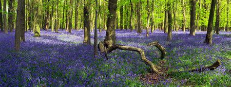 bluebells  crawley wood ashridge forest uk  flowe