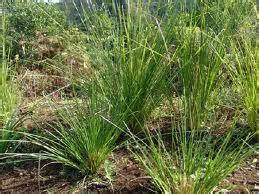manfaat  khasiat tanaman akar wangi