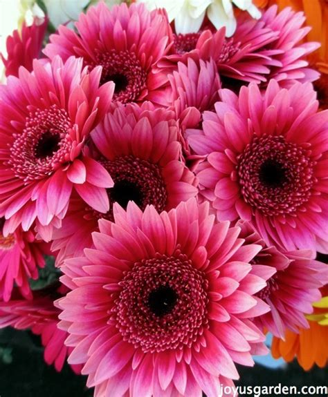 gerber daisies flower friday gerber daisies