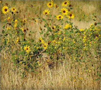 imagenes ocultas en otras coyotes optical illusions and illusions on pinterest