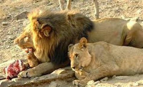Singa Si Raja Rimba menilik makanan favorit binatang singa ragam dunia hewan