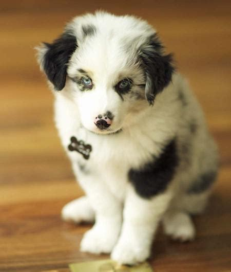 border collie australian shepherd mix puppies angus the australian shepherd mix puppies daily puppy