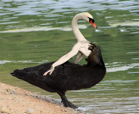 Black Swan Meme - black swan birds with arms know your meme