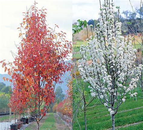 ornamental pear tree pyrus calleryana fronzam pear tree blerick trees buy online trees