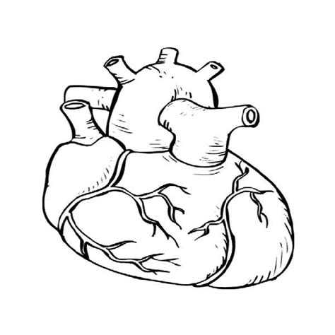 anatomical heart coloring page anatomical heart pictures cliparts co
