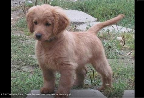 golden retriever grown a fully grown golden cocker retriever all god s creatures pintere