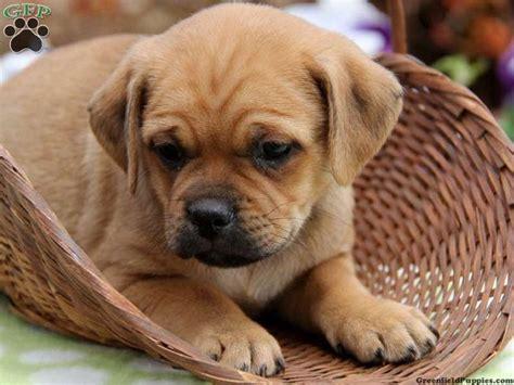 pug dachshund mix puppies for sale pug dachshund mix puppies for sale zoe fans