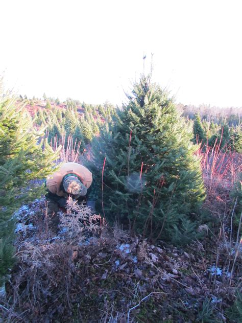 100 cut yourself christmas trees best 25 tree