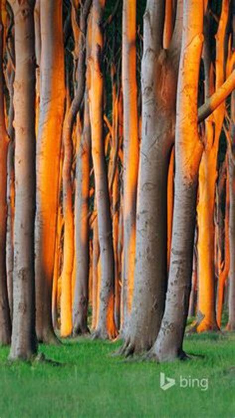 nienhagen wood in mecklenburg vorpommern germany gespensterwald forests pinterest