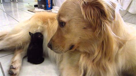 golden retriever big three kittens and one big golden retriever