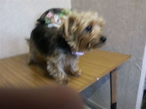 yorkie pet rescue terrier smalldogrescue walsall west midlands pets4homes