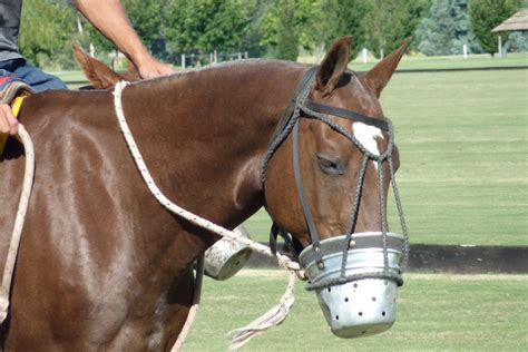 Cribbing In Horses Facts by File Polo Metal Muzzle Jpg Wikimedia Commons