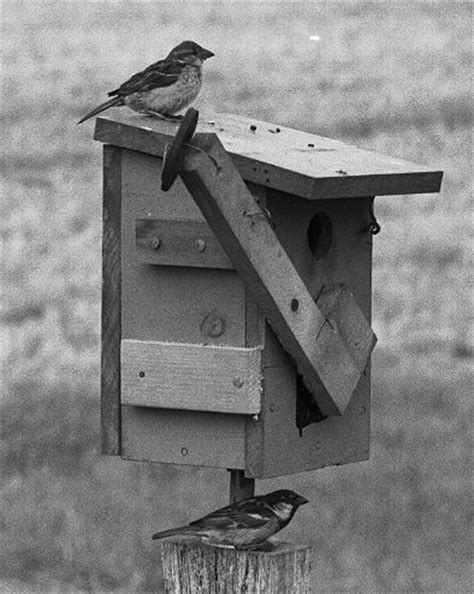 house sparrow trap plans remote operated nest box traps for starlings and house