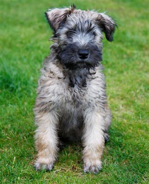 soft coated wheaten terrier puppies for adoption soft coated wheaten terrier puppies for sale in the uk breeds picture