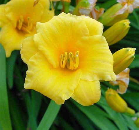 fiore giallo primaverile bulbi fiori gialli stratfordseattle