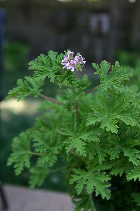 best scented geranium indoors 25 best ideas about scented geranium on pink geranium plants indoor and insect