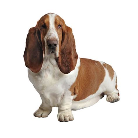 hound dogs breeds basset hound find a breed petcentric by purina
