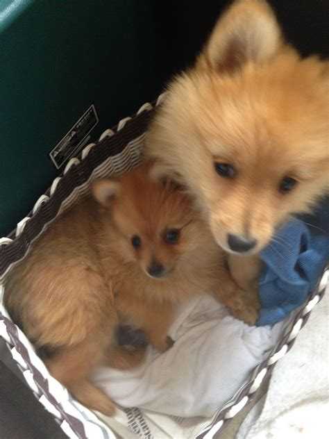 4 week pomeranian puppies 9 week pomeranian puppies for sale central pets4homes