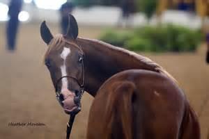 file egyptian arabian colt 2010 egyptian event arabian horse show 8309140332 jpg
