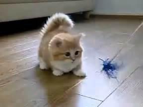 Mini Persian Rug Short Legged Cat Youtube