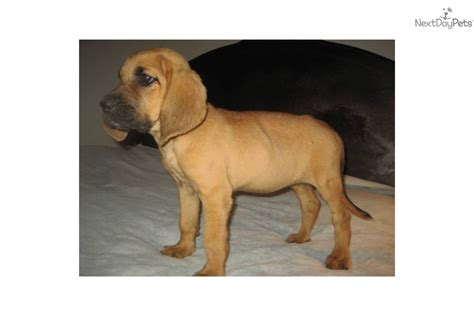 bloodhound puppies for sale in nc bloodhound breeders dogs puppies for sale albemarle carolina breeds picture
