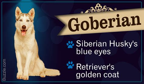 golden retriever siberian husky mix puppies striking information about the golden retriever siberian