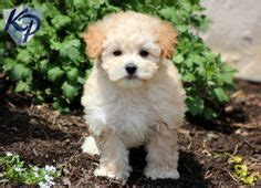 maltipoo puppies for sale in pa 1000 ideas about maltipoo puppies on maltipoo maltipoo puppies for