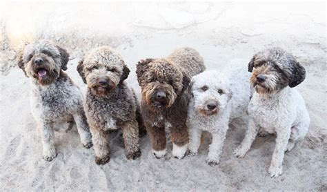 dogs for dogs for homes lagotto romagnolo puppies for sale