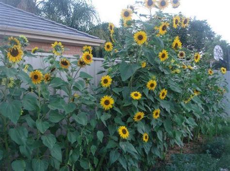 menanam bunga matahari  biji bibitbungacom