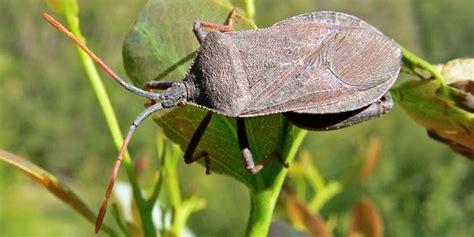 how to kill a bed bug how to kill squash bugs organically naturalalternativeremedy