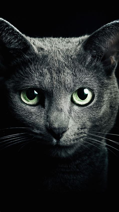wallpaper keren lenovo a6000 download russian blue cat hd wallpaper for a6000