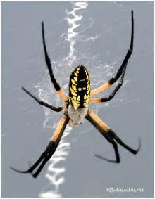 black and yellow garden spider photo bob moul photos at