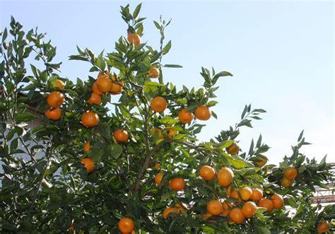 fior d arancio pianta arancio frutteto coltivare piante di arancio
