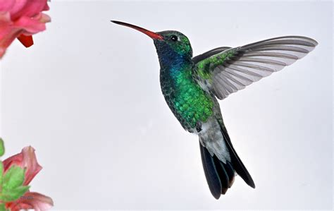 image gallery male hummingbird