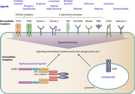 Pattern Recognition Receptors Proteins | major pattern recognition receptors prrs and their
