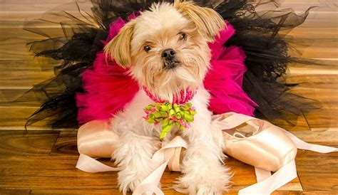 shih tzu pomeranian chihuahua mix breeds archives herepup